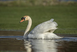 Swan in a puddle on a field, close up