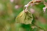 Farfalla Cedronella Gonepteryx rhamni