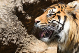 A striped male tiger roaring showing its tusks. Empty copy space for Editor's text.