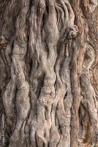 Foto Murales les torsions de l'écorce d'un arbre en détail