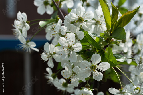 White flowers of the cherry blossoms on a spring day Poster