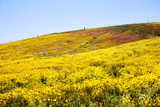 California Wildflowers Carrizo Plains
