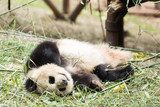 panda in park