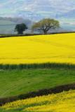 Rapeseed field on a farmland in rural Devon, England