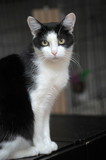 Beautiful black and white cat portrait