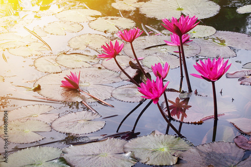 Pink water lily on a pond with sunlight Poster