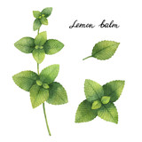 Hand drawn watercolor botanical illustration of Lemon balm. - 144703187