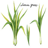 Hand drawn watercolor botanical illustration of Lemon grass. - 144703311