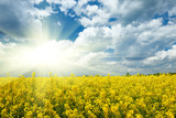 Bright yellow flower field with sun, beautiful spring landscape, rapeseed