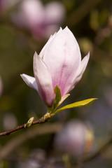 Knospe einer Magnolienblüte - Magnolie