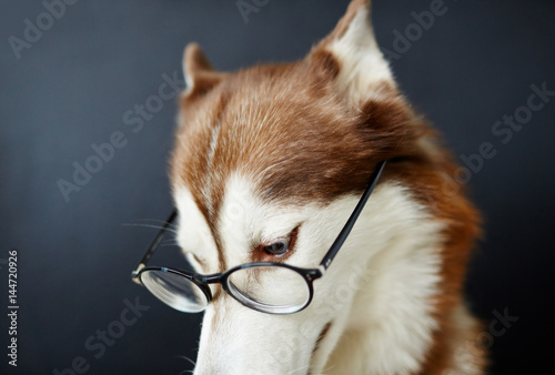 Wise dog in eyeglasses in isolation