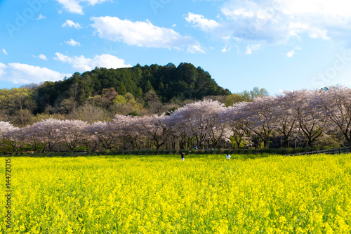 Poster 日本の春、桜と菜の花の風景