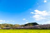日本の春、桜と菜の花の風景