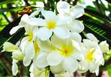 Plumeria Vintage Tone on the plumeria tree, frangipani tropical flowers.White plumeria.Plumeria flowers.Vintage Filter Effect.White plumeria on the plumeria tree.