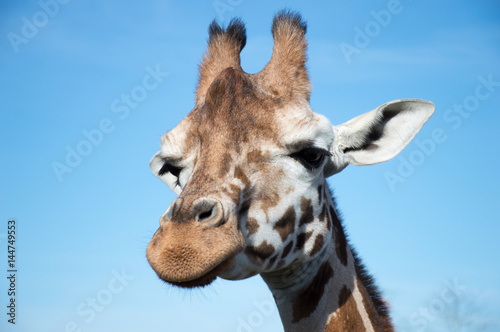 Poster Head of giraffe