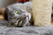 Playful cat with scratchpost