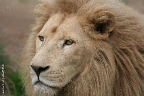 Lion' s head  Poster