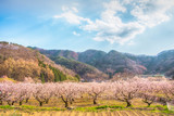 Sakura,Cherry blossom festival at Park, Nagano,Japan.