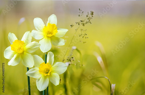Zdjęcia na płótnie, fototapety na wymiar, obrazy na ścianę : Three flower daffodils in spring outdoors on a meadow in the grass in the sun close-up on  light green background. Beautiful spring pattern for design. Delicate artistic image.