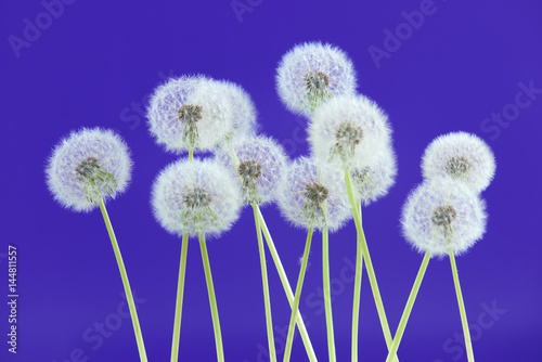 Plexiglas Violet Dandelion flower on blue color background, group objects on blank space backdrop, nature and spring season concept.