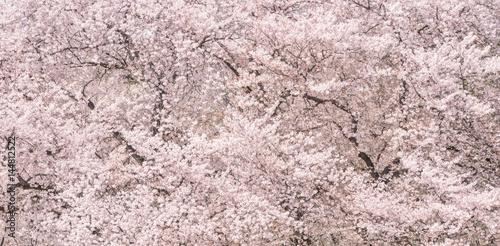 桜の花。日本の象徴的な花木。 Poster