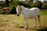White horse in the meadow
