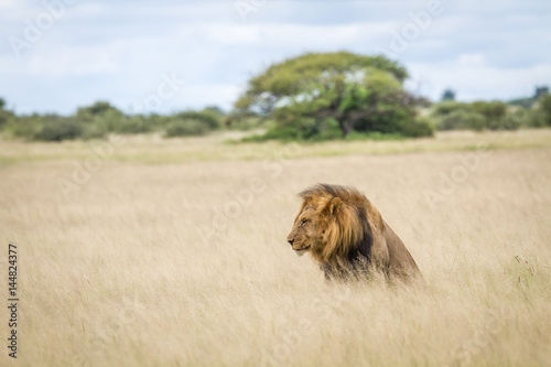 Male Lion in the high grass. Poster