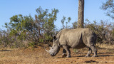 Southern white rhinoceros in Kruger National park, South Africa