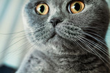 Portrait of  gray British shorthair cat