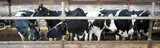 Cows in barn - 144830770