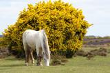 weißes Pferd vor Ginsterbusch