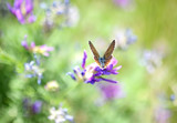 Lesser Fiery Copper butterfly sitting on a violet flower, selective focus and diffused background