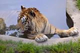 Closeup of tiger (Panthera tigris) bathing in pond