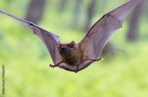 Großer Abendsegler eine Baumfledermaus im Wald Poster