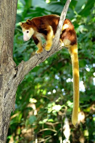 Aluminium Kangoeroe Tree kangaroo sitting on a tree branch, Papua New Guinea