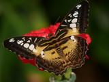 Schmetterling Gelb auf Blume