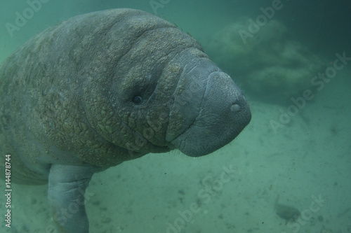 Poster Manatee in Crystal river Florida