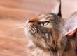 Portrait of domestic tortoiseshell Maine Coon kitten. Fluffy kitty in room at home. Close-up photo adorable curious young cat looking up.