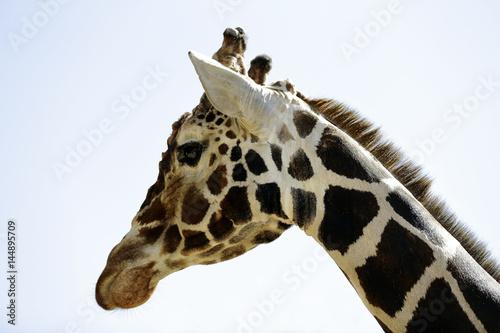 Poster jirafa africana