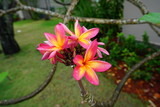 Fragrant orange and pink plumeria frangipani flowers