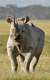 Beautiful black rhino