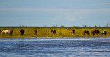Herd of horses in the coast of Parana River, Buenos Aires, Argentina