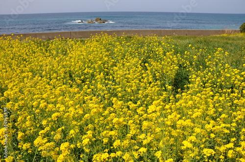 Poster 菜の花