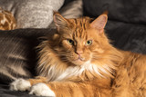 Portrait of a young maine coon male cat on grey couch