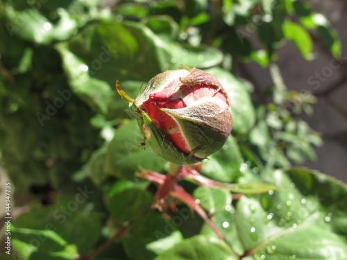 Papiers peints Azalea rosa in giardino