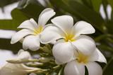 Plumeria flower in summer