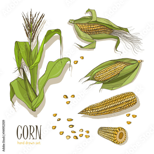 Set of corn plant. Colorful hand drawn collection maize. Vector illustration.