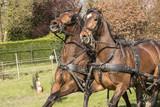 Bruine paarden weigeren