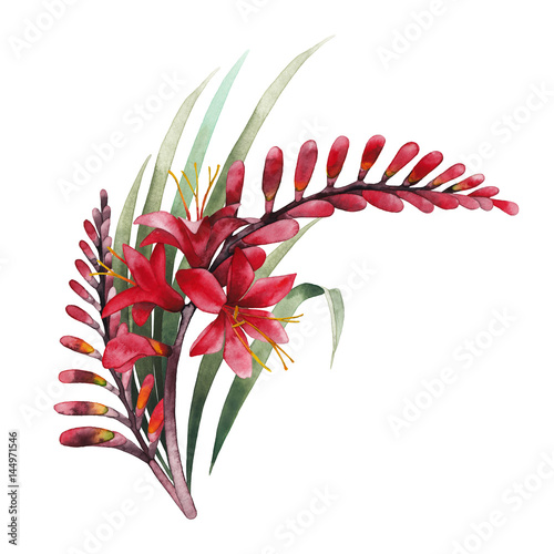 Watercolor crocosmia bouquet - 144971546