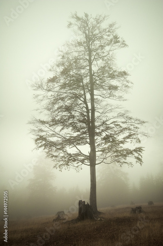 Tall leafless tree as seen through the thick fog on a late autumn day  - 144972505